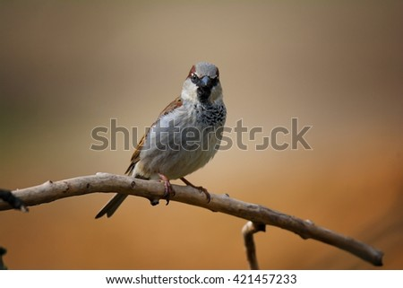 House Sparrow (Passer domesticus) on a log. My first attempts at wild birds - stock photo