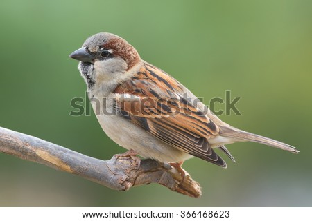 House sparrow perched on a tree branch. - stock photo