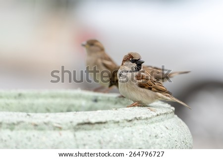 house sparrow standing on roof - stock photo