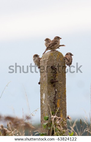 House Sparrows Perched on Old Fence Post - stock photo