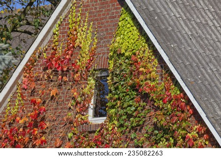 House with Japanese creeper, Woodbine, Boston Ivy, Ivy in Lower Saxony, Germany - stock photo