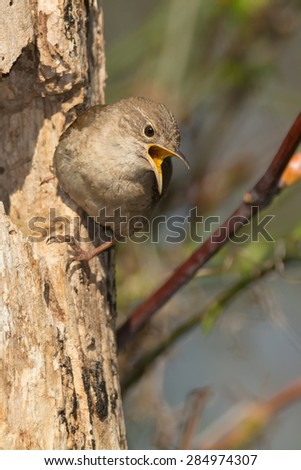 House Wren perched outside its nest singing. - stock photo