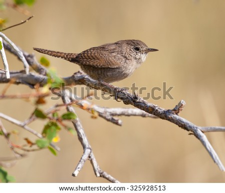 House Wren (Troglodytes aedon) perched on a branch in a brushy area in California - stock photo