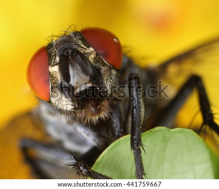Housefly face front portrait close-up macro - stock photo