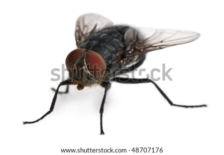 Housefly, Musca domestica, in front of white background - stock photo