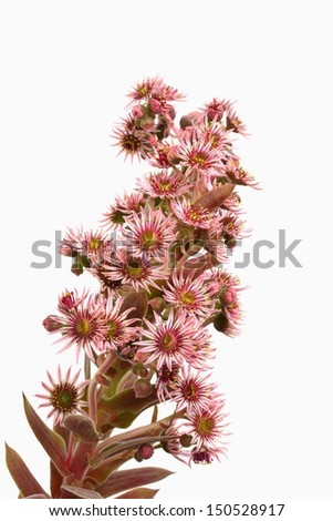 Houseleek flower closeup isolated on white - sempervivum inflorescence. Blooming hen and chicks succulent plant. - stock photo