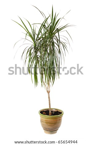 houseplant dracaena palm in brown flowerpot, isolated - stock photo