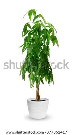 Houseplant - Pachira aquatica a potted plant isolated over white - stock photo