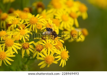 Hoverfly feeding on yellow wildflowers. - stock photo