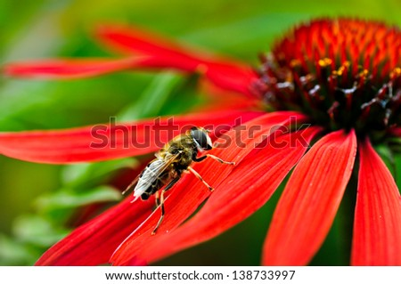 Hoverfly resting on a petal of red Rudbeckia - stock photo