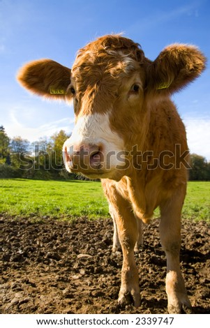 How can you not smile at this cute calf. California cows have nothing on Swiss Cows. - stock photo