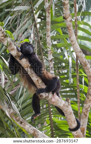 Howler Monkey (Alouatta palliate) rests in tree high in the rainforest jungle. - stock photo