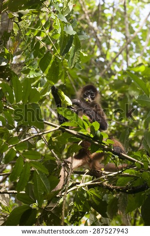 Howler Monkeys (Alouatta palliate) eating leaves in the rainforest.  An enlarged hyoid bone near the vocal cords amplifies the monkey's calls.   Prehensile tails help them move through the canopy.   - stock photo