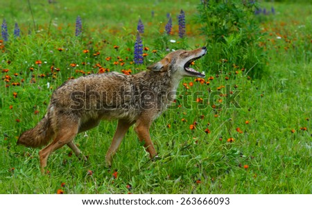 Howling coyote in a field of wildflowers. - stock photo