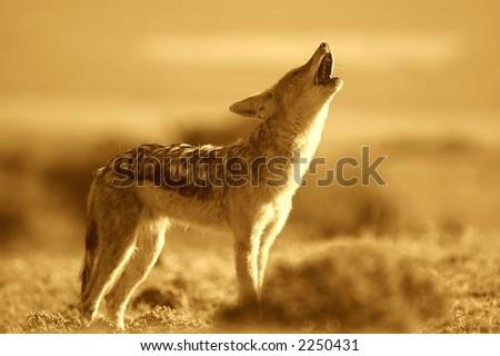 Howling Jackal - stock photo