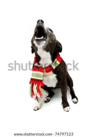 Howling Staffordshire Terrier cross breed wearing scarf - stock photo