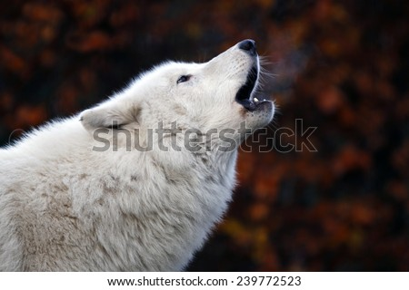 Howling White Wolf - stock photo