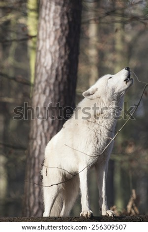 howling wolf standing on a trunk in winter forest, Europe - stock photo