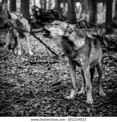 howling wolves - stock photo
