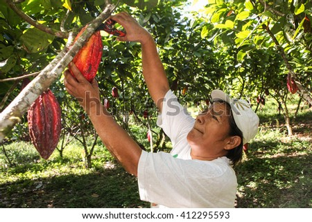 HUAYHUANTILLO, PERU - JUNE 21: A view of people who collects cocoa pods in Huayhuantillo village near Tingo Maria in Peru, 2011. - stock photo