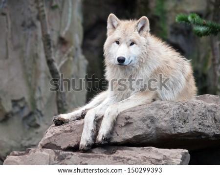 Hudson Bay Wolf - stock photo