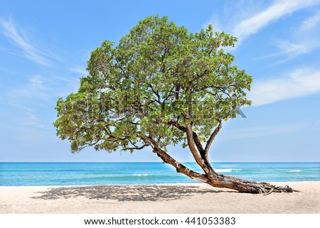 Huge and green tree at the beach side bend over to the sand under blue sky which looks like a horizon - stock photo