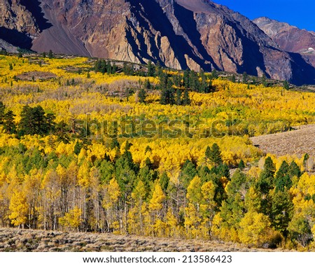 Huge aspen grove at peak of fall colors, Eastern Sierra, California. - stock photo