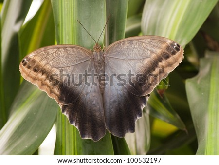 Huge brown butterfly / moth sitting on leaves - stock photo