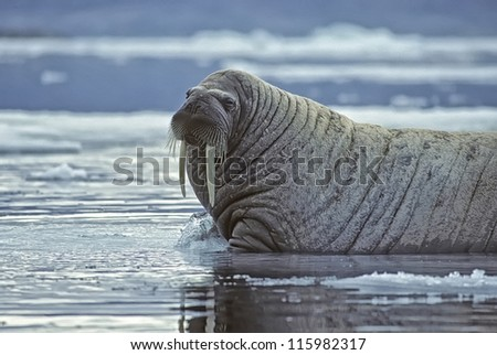 Huge bull walrus photographed on an ice floe in the Canadian High Arctic - stock photo