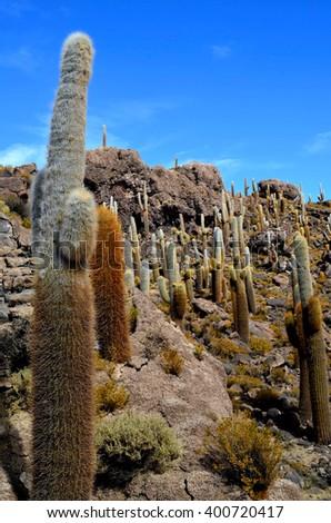 Huge Cactuses, Isla Incahuasi (Pescadores), Salar de Uyuni, Bolivia - stock photo