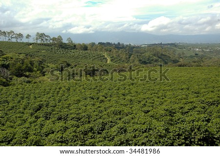 Huge coffee plantation in Central America - stock photo