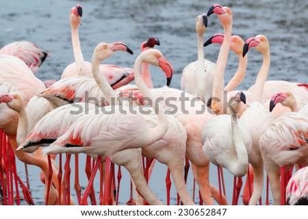 Huge colony of Rosy Flamingo in Walvis Bay Namibia, overcast, True wildlife - stock photo