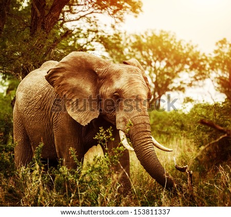 Huge elephant outdoors, big five, game drive, African nature, beautiful wild animal, national park, travel and tourism concept  - stock photo
