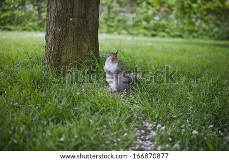 huge fat squirrel in the green spring park - stock photo