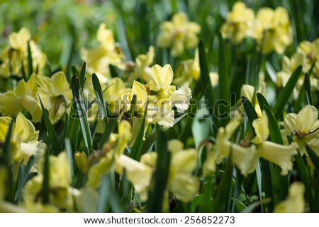 Huge field of daffodils, selective focus on flowers in foreground - stock photo
