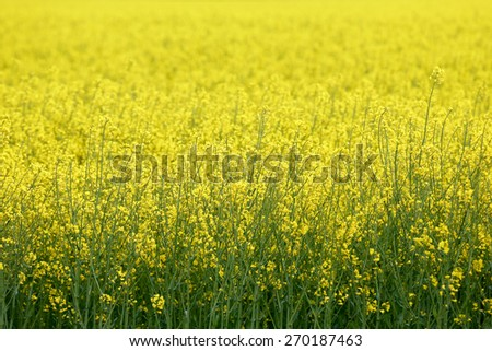 Huge field of GMO rapeseed for production of biodiesel  - stock photo