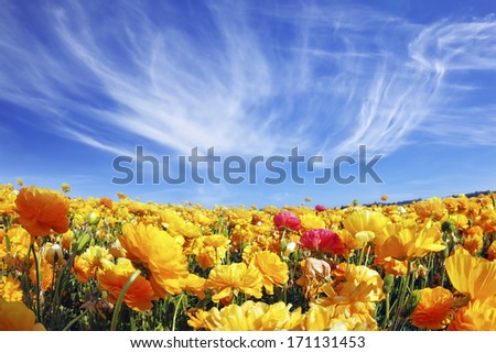 Huge fields of blossoming garden buttercups (Ranunculus asiaticus).  The wonderful spring weather, light cirrus clouds flying across a blue sky. The picture was taken Fisheye lens - stock photo