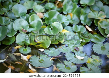 Huge floating lotus, - stock photo