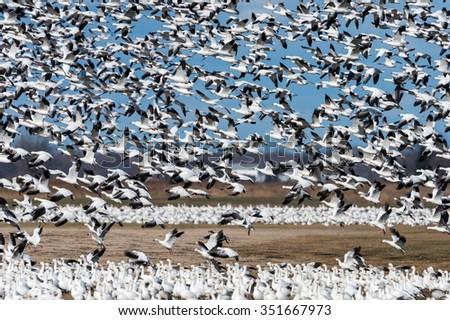 Huge Flock of Snow Geese in Flight on Blue Sky - stock photo