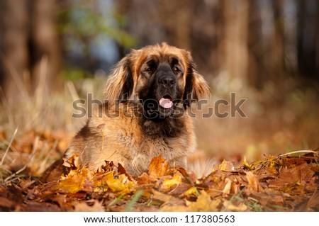 huge fluffy leonberger dog portrait in leaves - stock photo