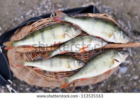 Huge freshwater carp caught on a bite - stock photo