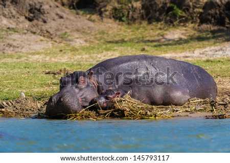 Huge hippopotamus and its little baby take a rest on the coast - stock photo