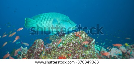 Huge Napolean Wrasse Swims Among Small Fish in an Underwater Scene - stock photo