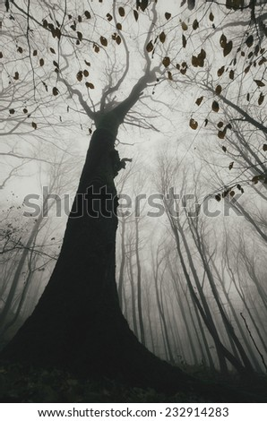 huge old tree in a misty forest in autumn dramatic view - stock photo