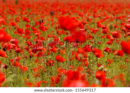 Huge red colored poppy field - stock photo