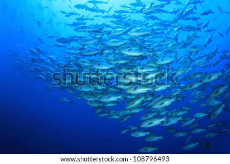 Huge School of Bohar Snapper fish at Shark Reef in the Red Sea - stock photo