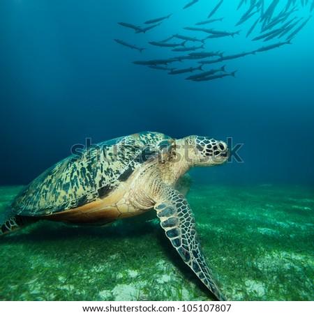 Huge sea turtle on the seaweed bottom with school of barracudas - stock photo