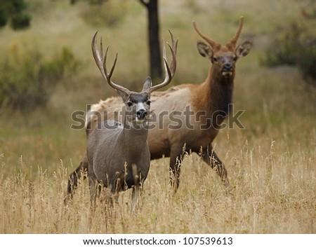 Huge Trophy Mule Deer Buck with young bull Elk in background - stock photo