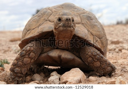 Huge turtle crawling on arid grounds. Namib desert. Namibia - stock photo