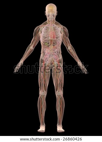 human anatomy - stock photo